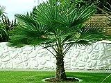 Trachycarpus fortunei Hanfpalme bis 160 cm Höhe aus Freilandzucht. Frosthart bis - 19 Grad Indoor und Outdoor